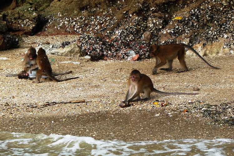Monkeys playing on beach